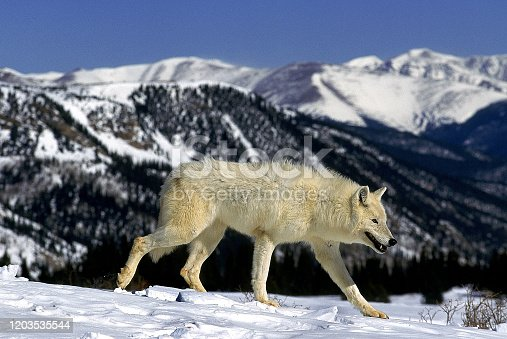 ARCTIC WOLF canis lupus tundrarum, ADULT WALKING IN SNOW AGAINST MOUNTAIN RANGE, ALASKA