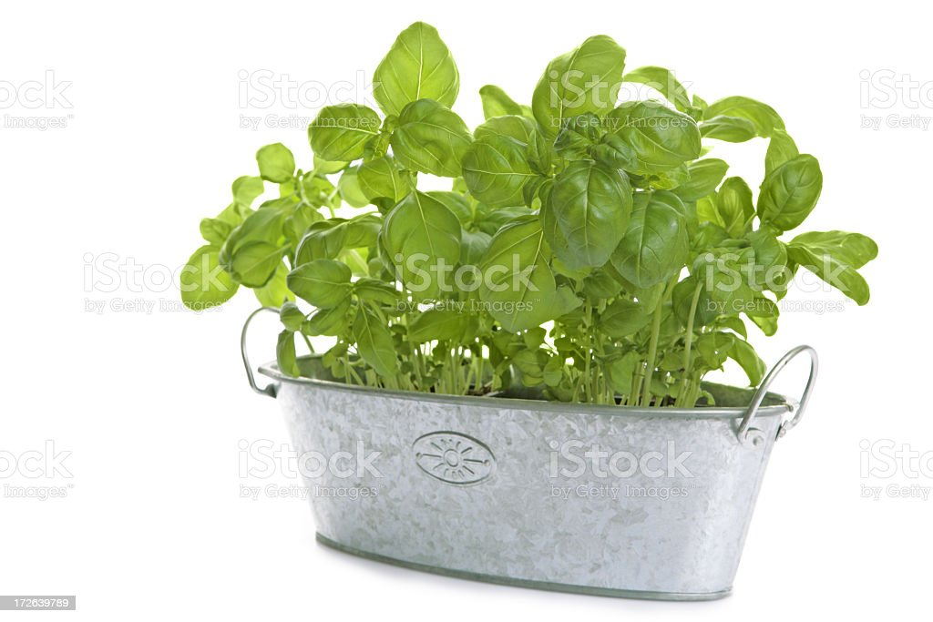 A canister of fresh basil against a white background  royalty-free stock photo