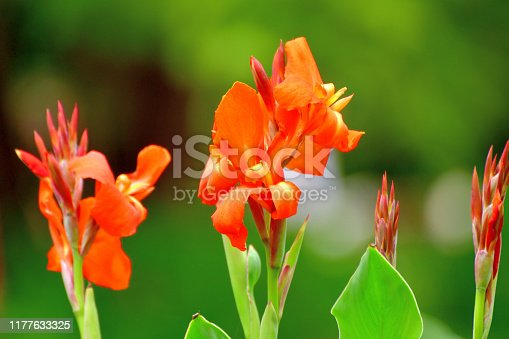 Canna, or Canna lily, is rhizomatous perennial with tropical-like foliage and large flowers that resemble iris flowers, which come in shades of rred, pink, orange, yellow, brown and white colors.