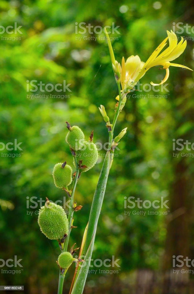 canna bloem in tuin - Royalty-free Bloem - Plant Stockfoto