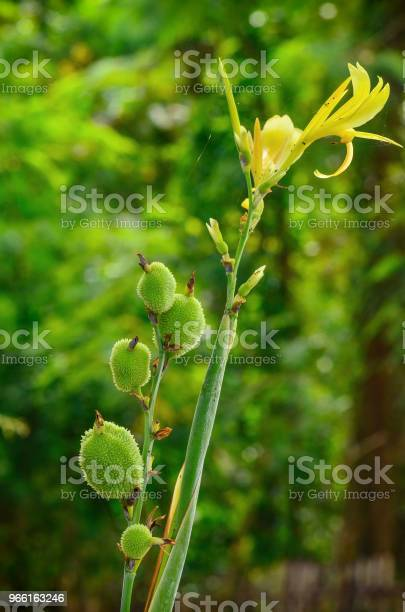 Canna Blomma I Trädgården-foton och fler bilder på Blomma