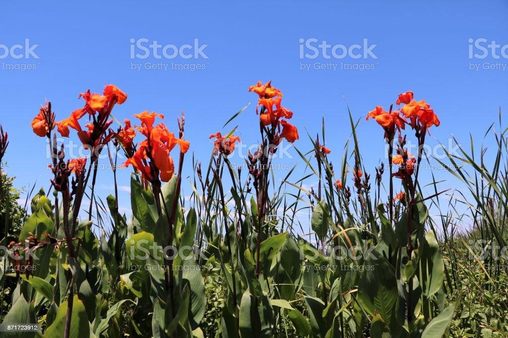 Canna hybride in summer, Australia stock photo