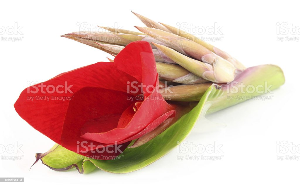 Canna indica or Kolaboti flower royalty-free stock photo