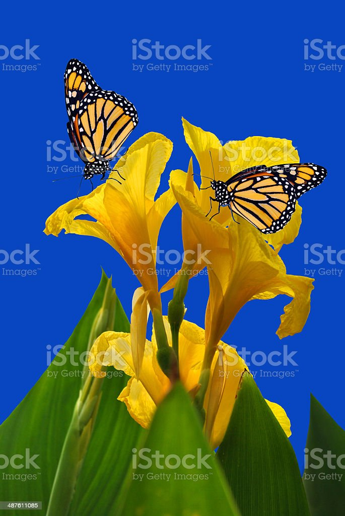 Canna King Midas with two Monarch butterflies royalty-free stock photo