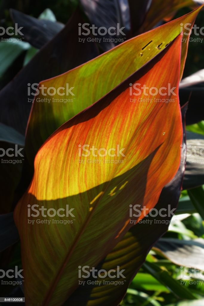 Canna leaves stock photo