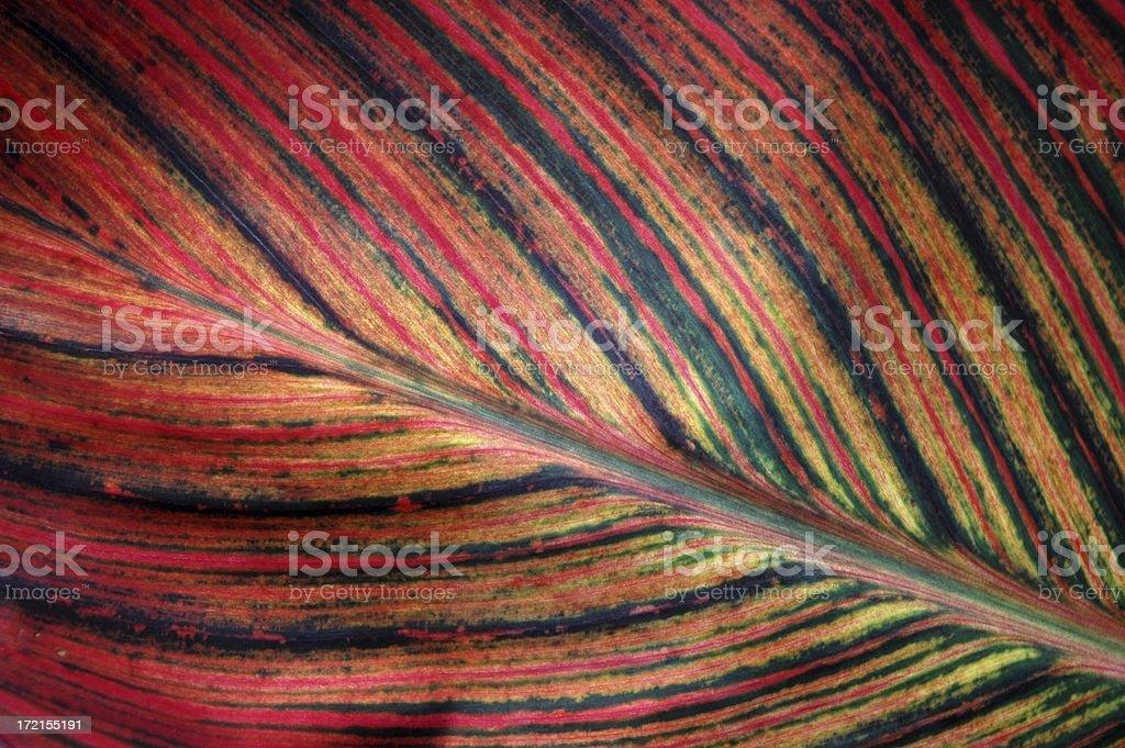 Canna 'Tropicana' Organic Background royalty-free stock photo