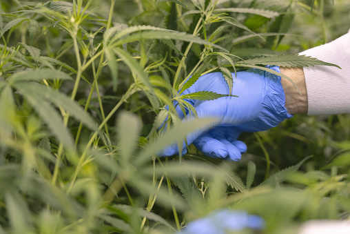 Marijuana being harvested by a legal grow farm worker, for medical dispensary.
