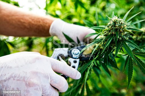 This is a stock photograph involving cannabis, marijuana and its implications in America has just slowly been legalized and used for medicinal and medical purposes and what that means to our economy and culture.