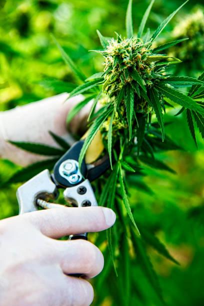 Cannabis being harvested on a marijuana farm stock photo