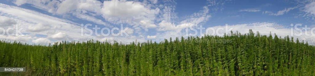 Cannabis Blätter stock photo