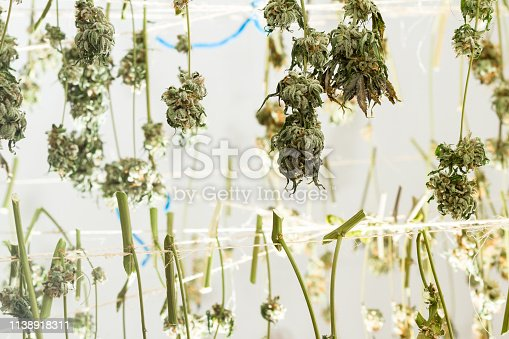 close up of marijuana buds Hanging from lines being sorted and prepared for clipping