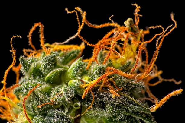 Cannabis bud trichomes. Macro close up of trichomes on female green and orange cannabis indica plant bud plant trichome stock pictures, royalty-free photos & images