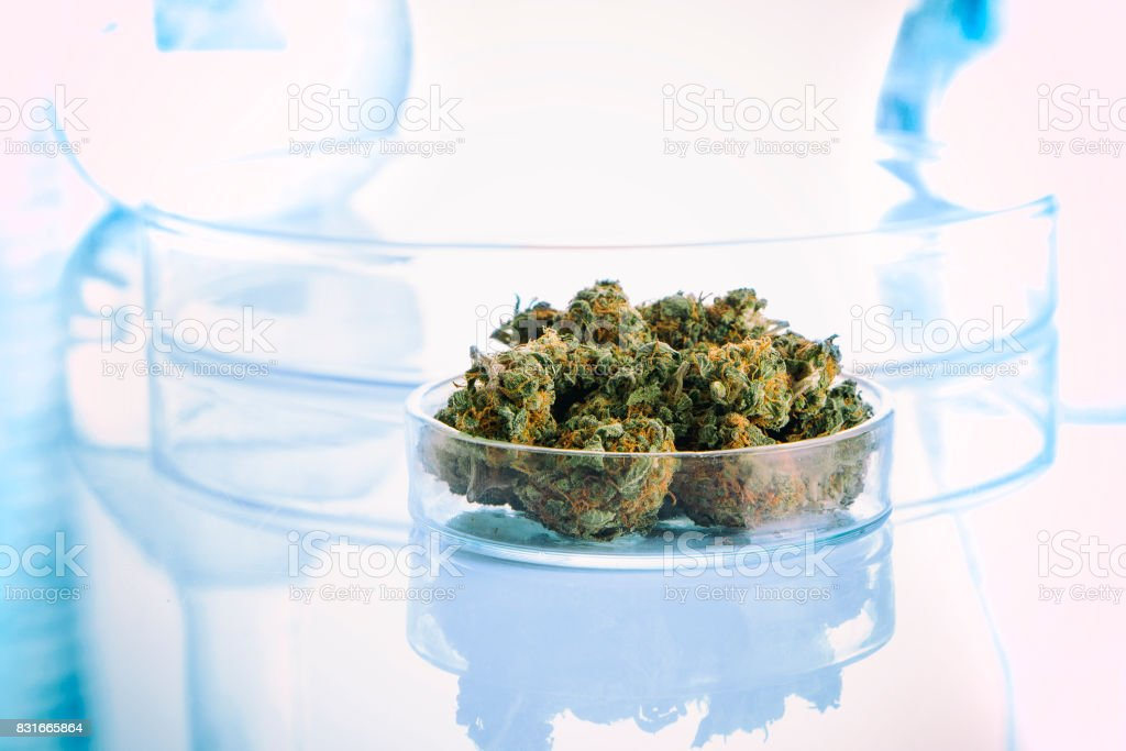 Cannabis buds in laboratory stock photo