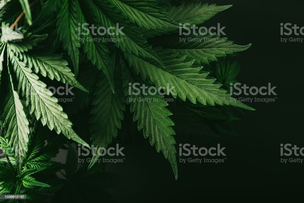 cannabis bush nature farm green marijuana plant marijuana background for your resource about this cannabis plant for treatment and recreation Bush Stock Photo