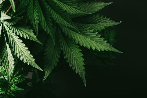Cannabis Bush Nature Farm Green Marijuana Stock Photo - Download Image Now