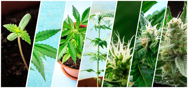 Cannabis collage. Many photos of various stages of growing marijuana plants at home, in chronological order Cannabis collage. Many photos of various stages of growing marijuana plants at home, in chronological order plant trichome stock pictures, royalty-free photos & images