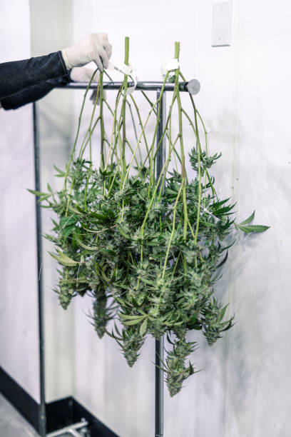 Cannabis Cultivator Hanging Marijuana Buds in Grow Room stock photo
