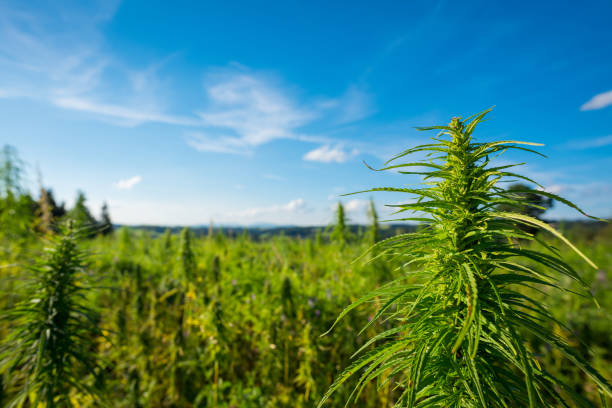 Cannabis farm field view stock photo