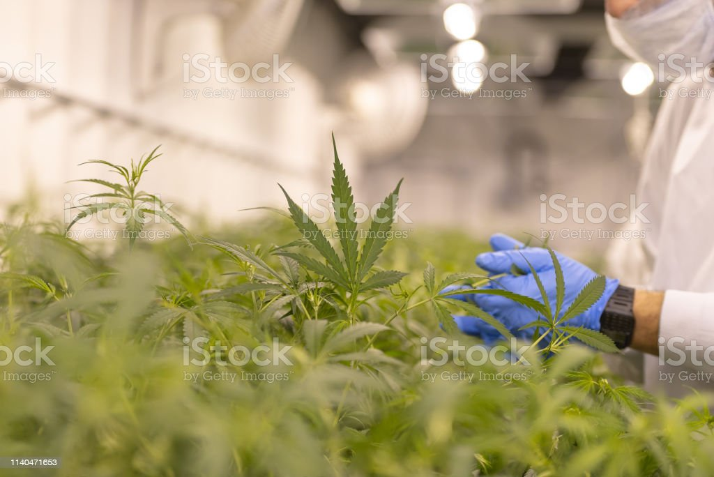 Cannabis farm quality control Close up of marijuana growing for a medical marijuana supplier. There is someone who is looking at the leaves to make sure it is a healthy crop. Addiction Stock Photo