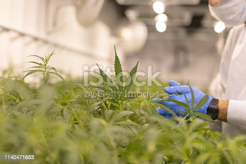 Close up of marijuana growing for a medical marijuana supplier. There is someone who is looking at the leaves to make sure it is a healthy crop.