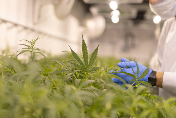Cannabis farm quality control Close up of marijuana growing for a medical marijuana supplier. There is someone who is looking at the leaves to make sure it is a healthy crop. marijuana stock pictures, royalty-free photos & images
