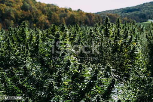 Cannabis field with cannabis plant