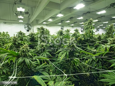 istock Cannabis Growing in Commercial Business Grow Space Female Budding Marijuana Plants 1089974756