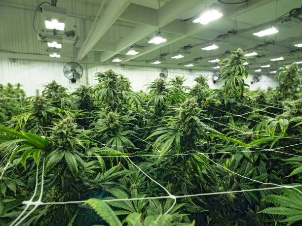 Cannabis Growing in Commercial Business Grow Space Female Budding Marijuana Plants Cannabis Growing in Commercial Business Grow Space Female Budding Marijuana Plants plant trichome stock pictures, royalty-free photos & images