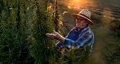 Farm owner checking the cannabis crop