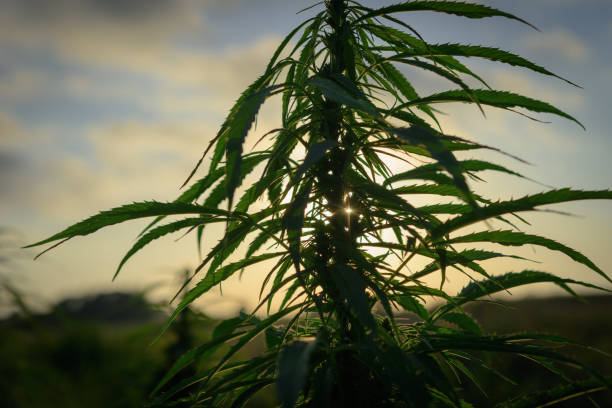 Cannabis in field stock photo