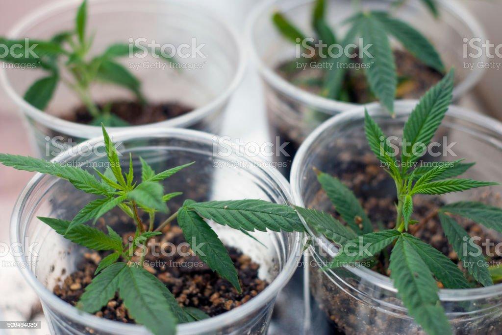 Cannabis indica marijuana cloned cuttings stock photo