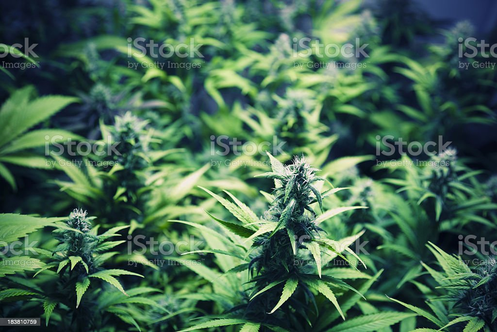 cannabis lab stock photo