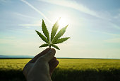 Cannabis leaf against the sky. hand holding a marijuana leaf on a background of blue sky. Background of the theme of legalization and medical hemp in the world. Green canabis on marihuana field farm