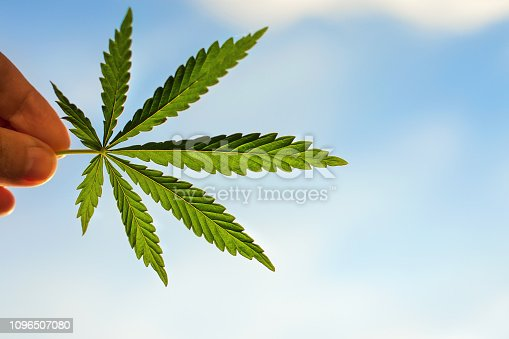 istock Cannabis leaf close up in a male hand in the setting sun on a blurred background. High quality marijuana, colorful colors 1096507080