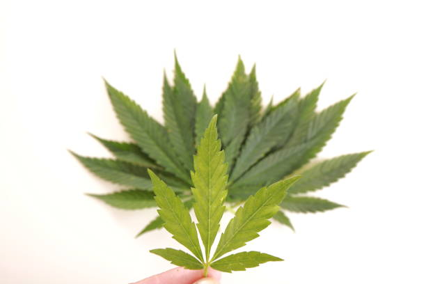 Royalty Free Marijuana Pot Weed Leaf Symbol Pictures Images And
