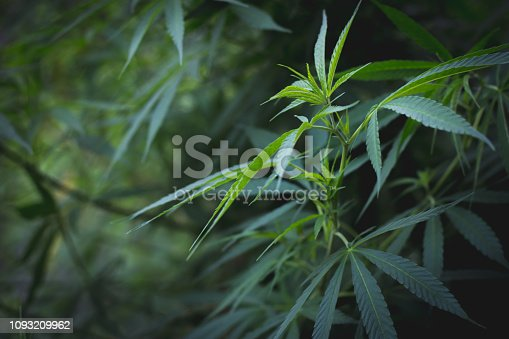 936410150istockphoto cannabis leaf grow grow marijuana green farm, Cannabis leaves of a plant on a dark background, medicinal agricultur. 1093209962