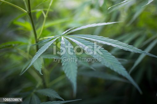 936410150 istock photo cannabis leaf grow grow marijuana green farm medicinal agricultur 1093209974