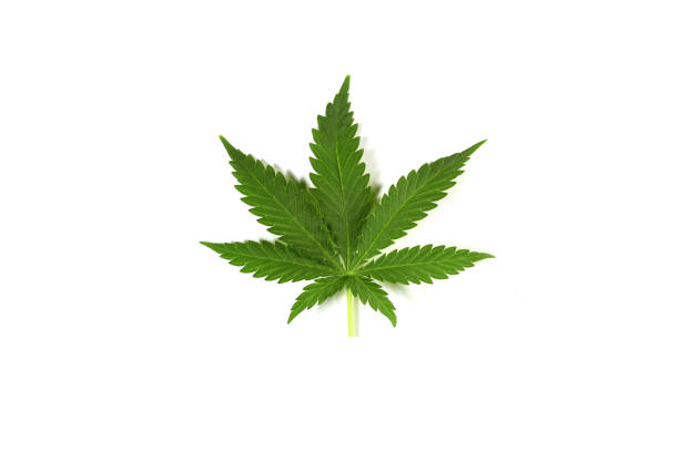 Cannabis leaf ion white background stock photo