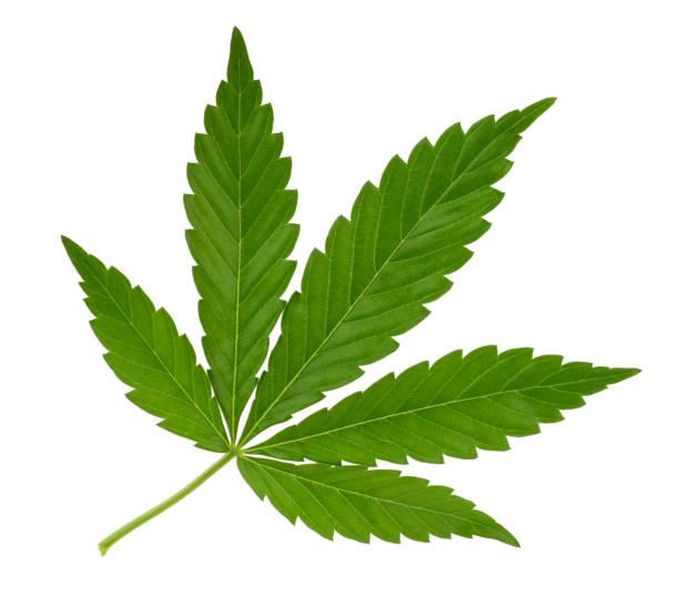 cannabisblatt isoliert auf weiss ohne schatten - hanfblatt stock-fotos und bilder