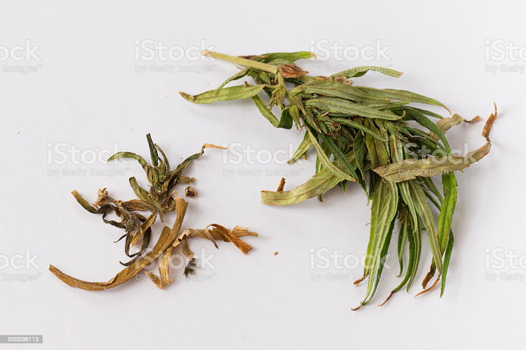 cannabis leaf royalty-free stock photo