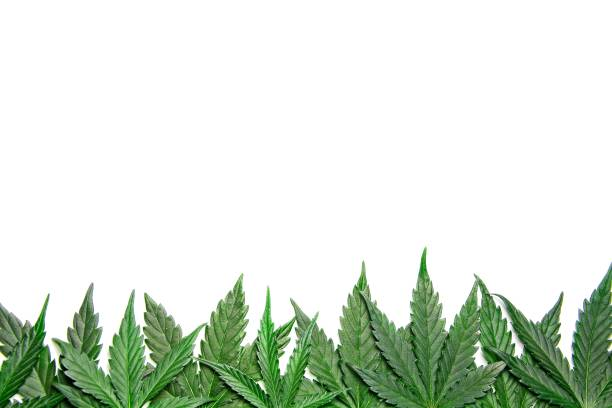 cannabis blätter frame-grenze - hanfblatt stock-fotos und bilder