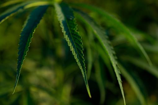 655844066 istock photo cannabis leafs growing outdoor. 1267374369