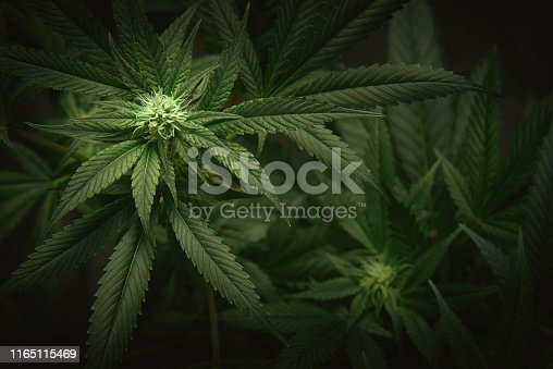 istock cannabis leaves and buds background 1165115469