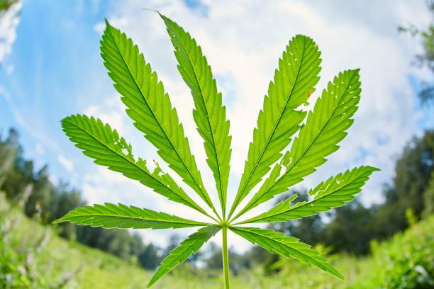 Cannabis leaves hemp stem outdoors against a blue sky background stock photo