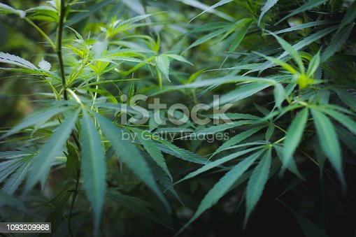 936410150istockphoto Cannabis leaves of a plant on a dark background, medicinal agricultur. 1093209968