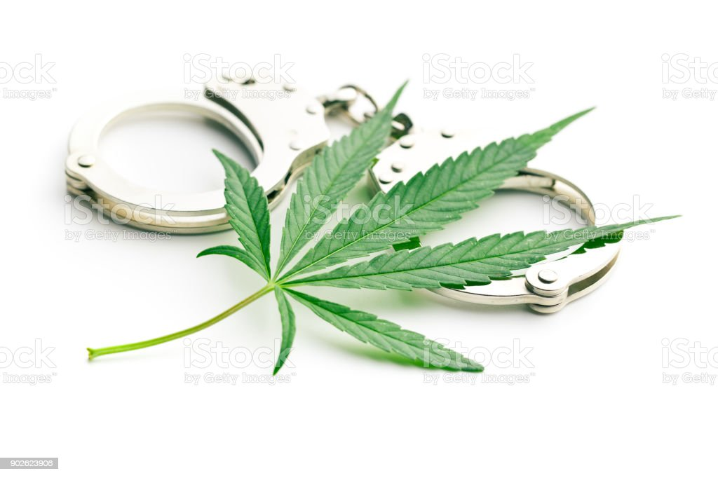 cannabis leaves stock photo