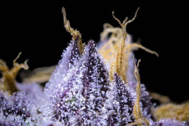 Cannabis Macro Trichome close up on this Sherbert strain. plant trichome stock pictures, royalty-free photos & images