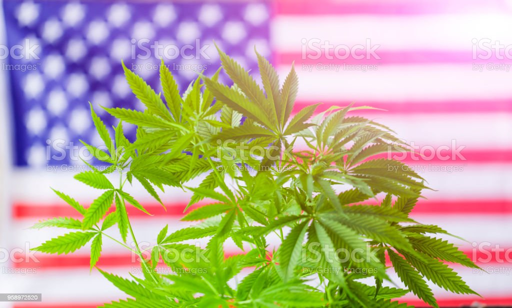 cannabis marijuana  American flag cannabis marijuana  American flag Agriculture Stock Photo