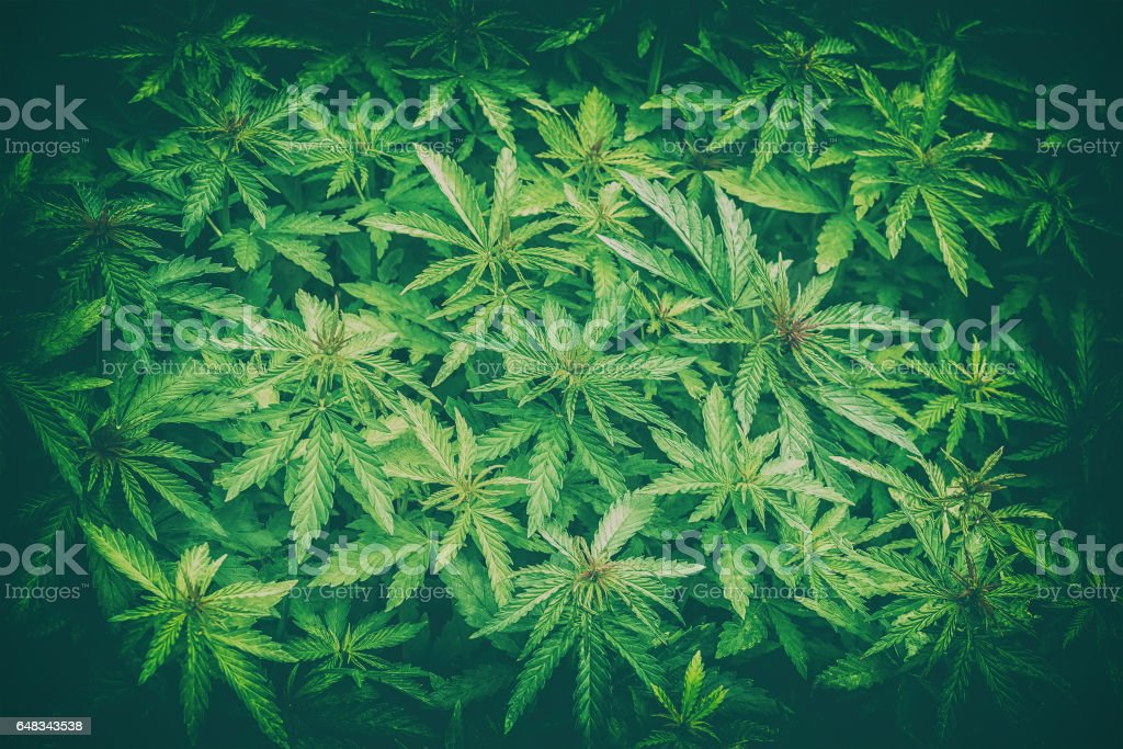 Cannabis marijuana leaf closeup background stock photo
