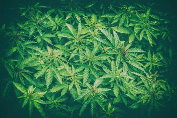 cannabis marijuana leaf closeup background - hanfblatt stock-fotos und bilder